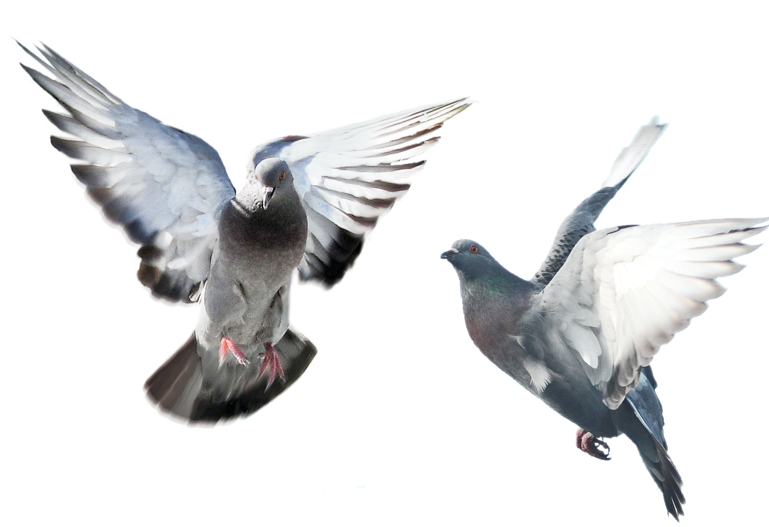 голубь фото летящий